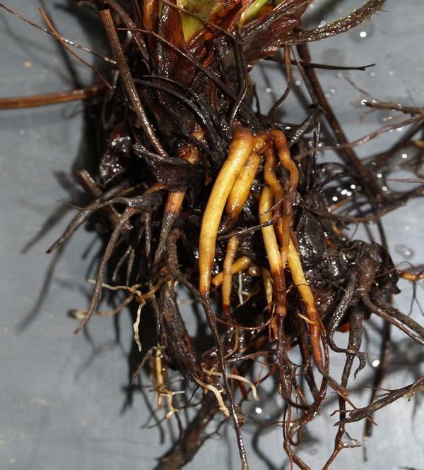 Так выглядят корни земляники при поражении фузариозом. Фото с сайта agronomija.rs
