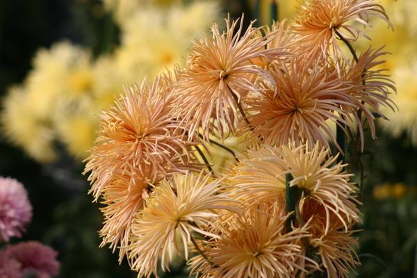 Хризантему садовую сорт Rayonnante Bronze можно использовать в цветочной кулинарии, фото автора