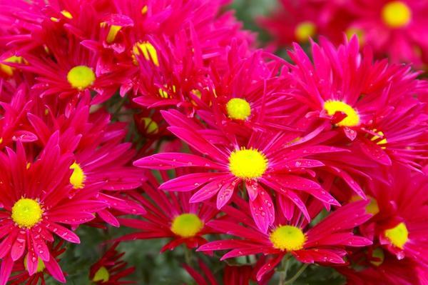 Хризантема садовая сорт Bossa Time, фото автора