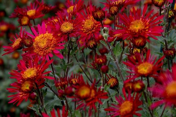 Хризантема садовая сорт Крымская весна, фото автора