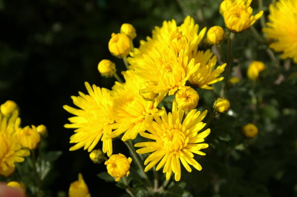 Хризантема садовая сорт Нива золотая, фото автора