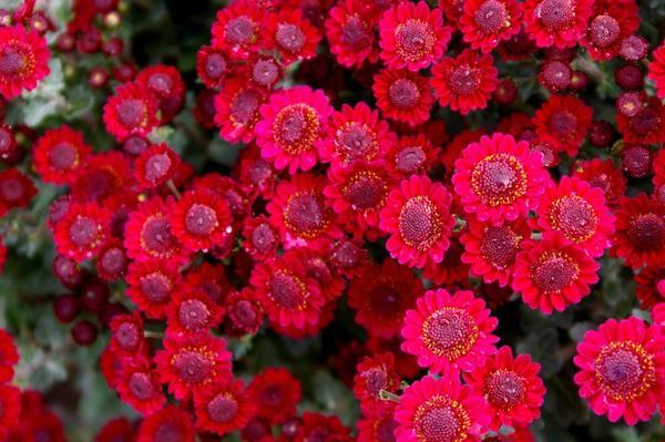 Хризантема садовая сорт Израильский лиловый, фото автора