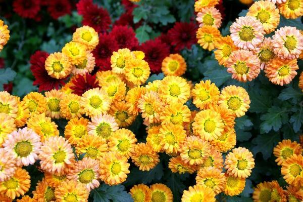 Хризантема садовая сорт Золотая рыбка, фото автора