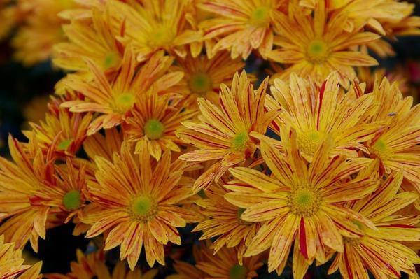 Хризантема садовая сорт Брызги моря, фото автора