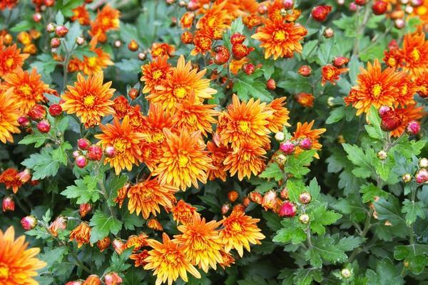 Хризантема садовая сорт Никитская осень, фото автора