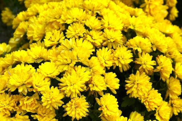Хризантема садовая сорт Terrano Gold, фото автора