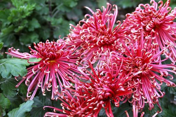 Хризантема садовая сорт Cobra Red, фото автора