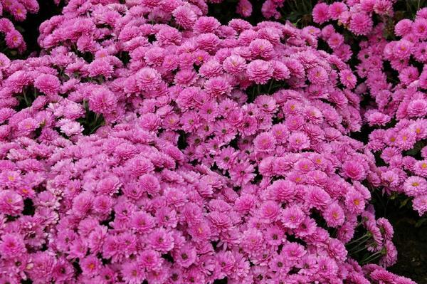 Бордюрная хризантема садовая сорт B.B. Purple высотой 25 см, фото автора