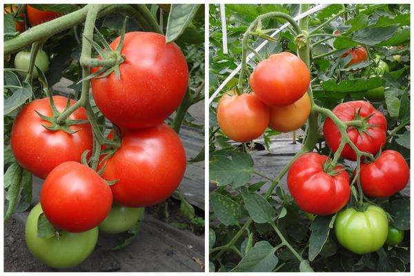 Крупноплодные томаты Звезда Сибири F1 и Касатик F1