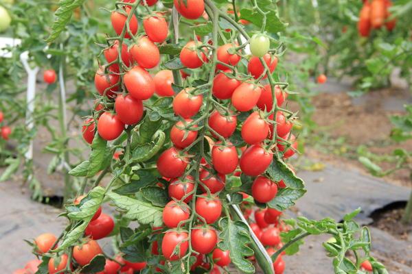 Коктейльный томат Монисто розовое