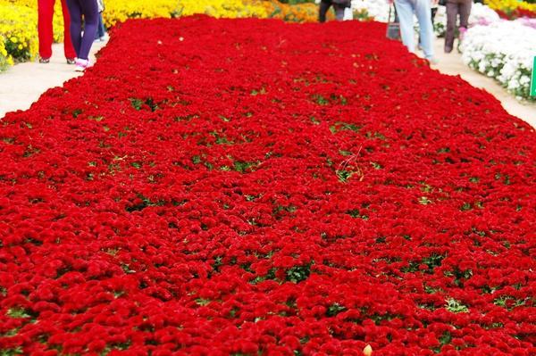 Куртина хризантемы садовой сорта Patio mun Red, фото автора