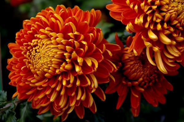 Дендрантема садовая сорт Resow с полушаровидными соцветиями, фото автора