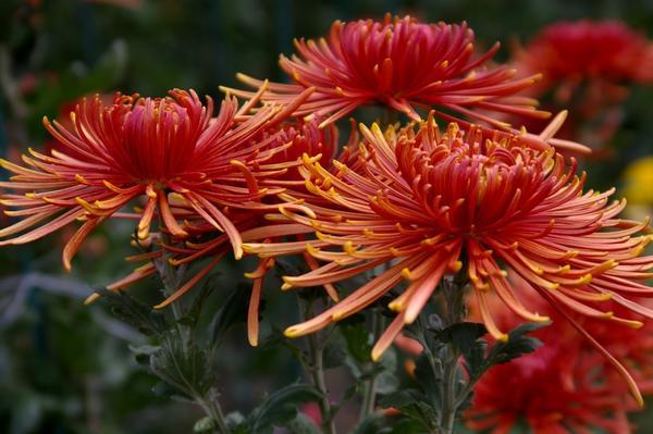 Дендрантема садовая сорт Spira Red с лучевидными соцветиями, фото автора