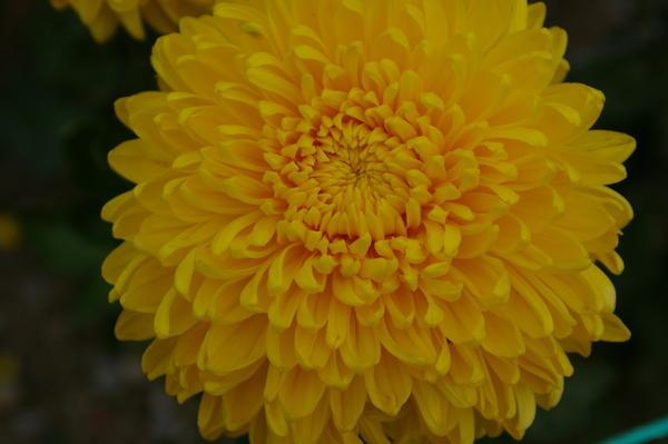Дендрантема садовая сорт Апельсиновый шар, фото автора