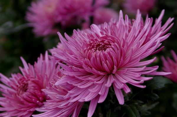 Дендрантема садовая сорт Anastasia Pink, фото автора
