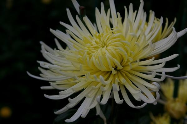 Дендрантема садовая сорт Anastasia, фото автора