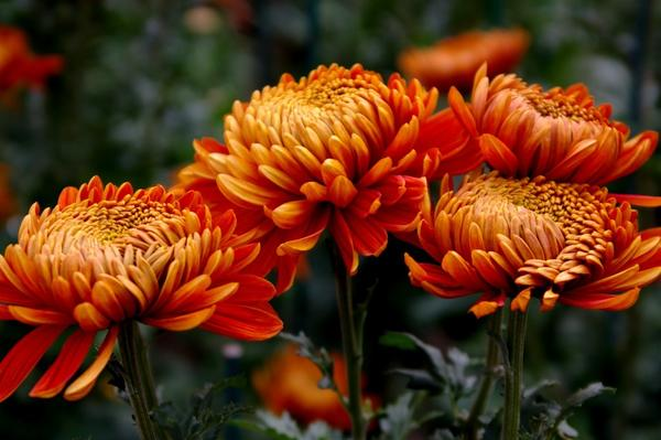 Дендрантема садовая сорт Perfection Orange, фото автора