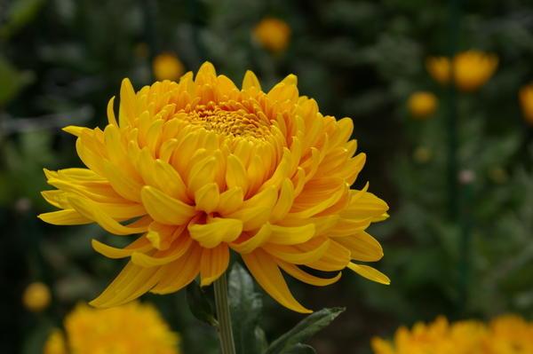 Дендрантема садовая сорт Zembla Yellow, фото автора