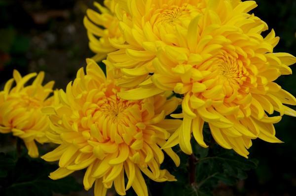 Дендрантема садовая сорт Residence, фото автора