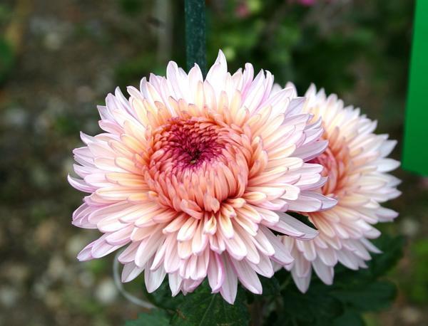 Дендрантема садовая сорт Lavander Queen, фото автора