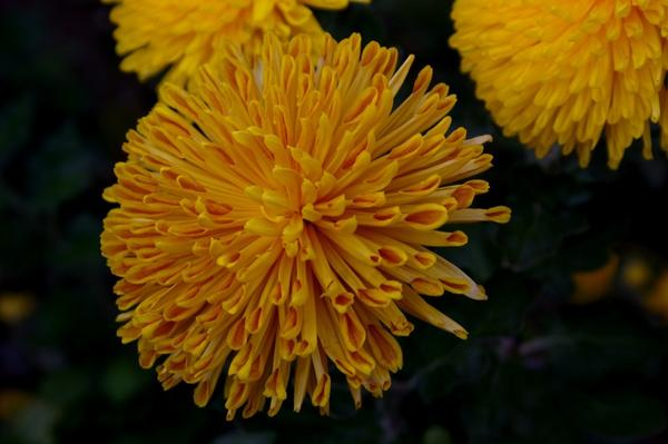 Дендрантема садовая сорт Natasha, фото автора