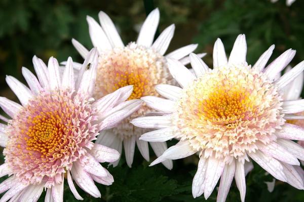 Дендрантема садовая сорт Eleanor Pink, фото автора