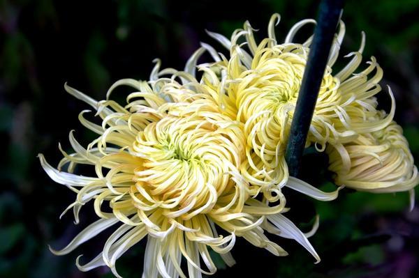 Дендрантема садовая сорт Export Sax, фото автора