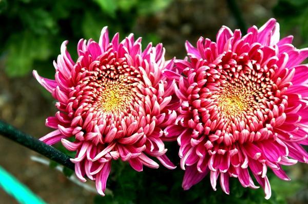 Дендрантема садовая сорт Колхида, фото автора