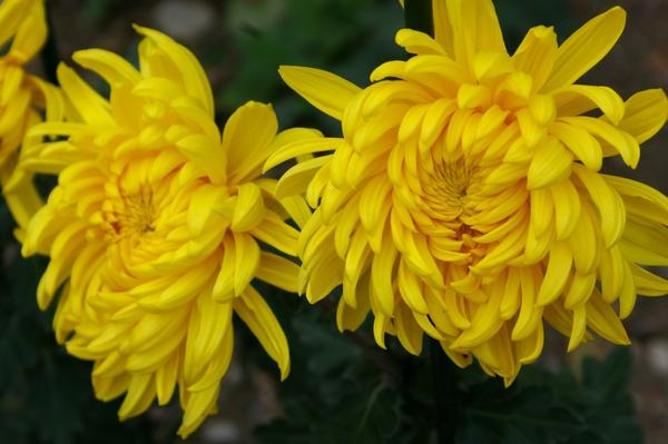 Дендрантема садовая сорт Victor Pover, фото автора
