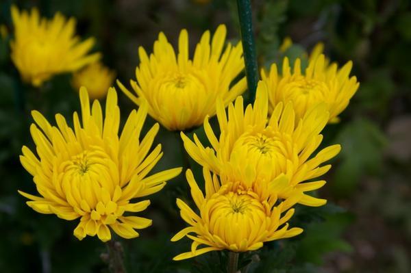 Дендрантема садовая сорт Valesca, фото автора