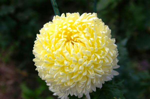 Дендрантема садовая сорт Creamiest Yellow, фото автора