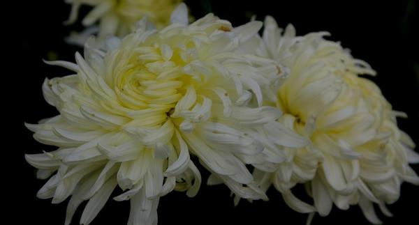 Дендрантема садовая сорт Andre, фото автора