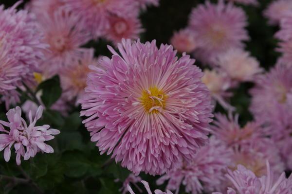 Дендрантема садовая сорт Linda, фото автора