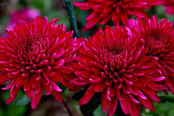 Дендрантема садовая сорт Nary, фото автора