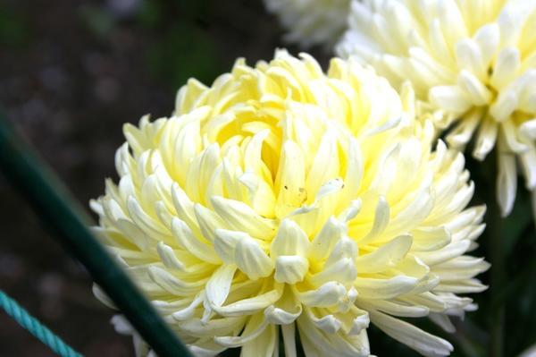 Дендрантема садовая сорт Creamiest White, фото автора