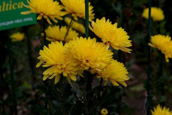 Дендрантема садовая сорт Baltica, фото автора
