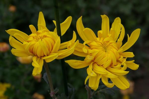 Дендрантема садовая сорт Lorna Doone Yellow, фото автора
