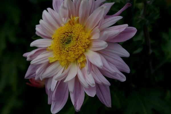 Дендрантема садовая сорт Bell Anne, фото автора