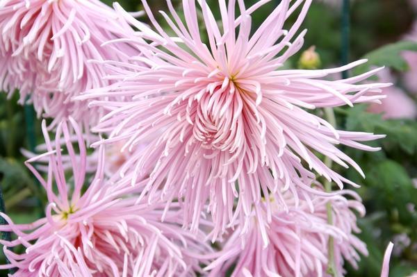 Дендрантема садовая сорт Rayonnante Pink, фото автора