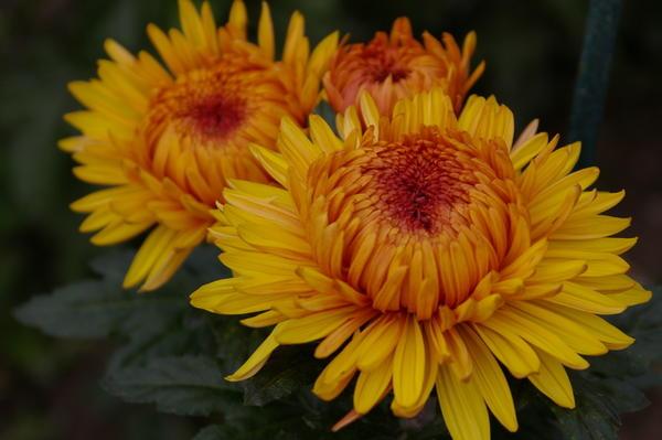 Дендрантема садовая сорт Lorna Doone Salmonicolor, фото автора