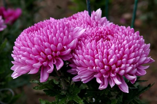 Дендрантема садовая сорт Milka Pink, фото автора