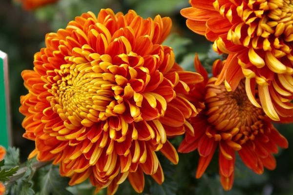 Дендрантема садовая сорт Resow, фото автора