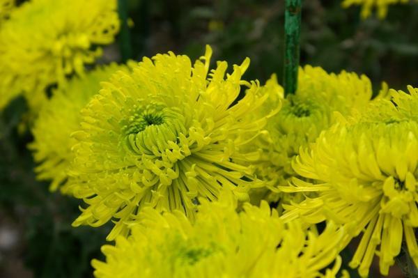 Дендрантема садовая сорт Revert, фото автора