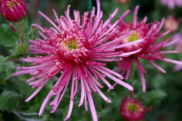 Дендрантема садовая сорт Spira Pink, фото автора