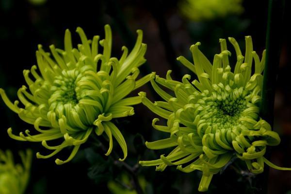 Дендрантема садовая сорт Anastasia Dark Green, фото автора