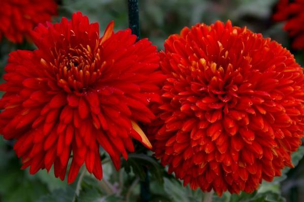 Дендрантема садовая сорт Escort Rot, фото автора