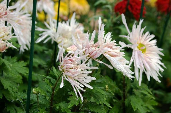 Дендрантема садовая сорт Ласточка, фото автора
