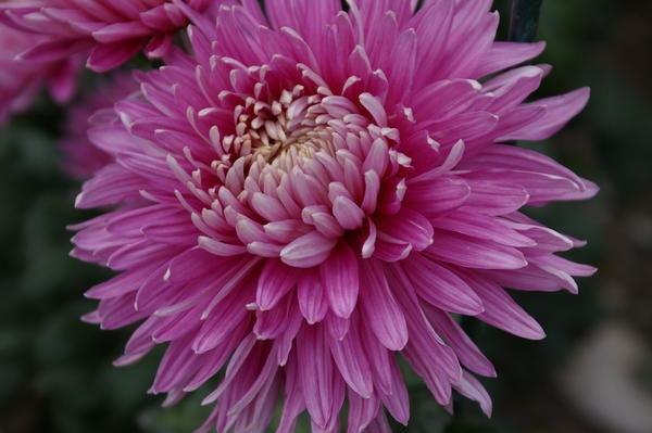 Дендрантема садовая сорт Pandion Pink, фото автора