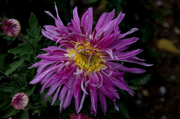 Дендрантема садовая сорт Ami Paulette, фото автора
