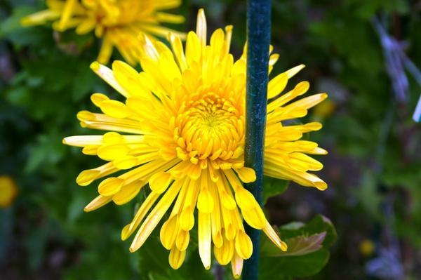 Дендрантема садовая сорт Dalystar Yellow, фото автора